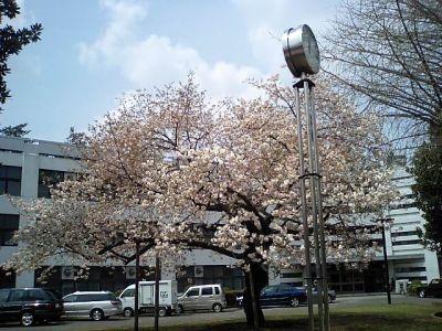sakura_tamabi.jpg